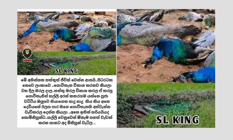 No, Peacocks In Sri Lanka Did Not Die Because Farmers Poisoned Them