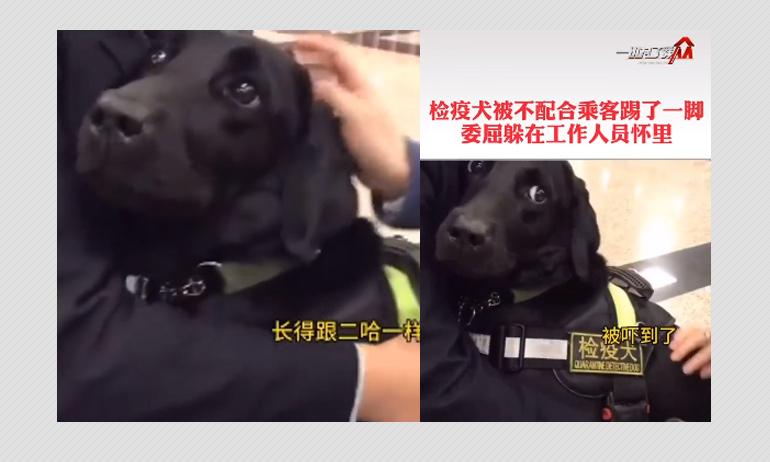 Quarantine Detector Dog Assaulted During Coronavirus Pandemic?