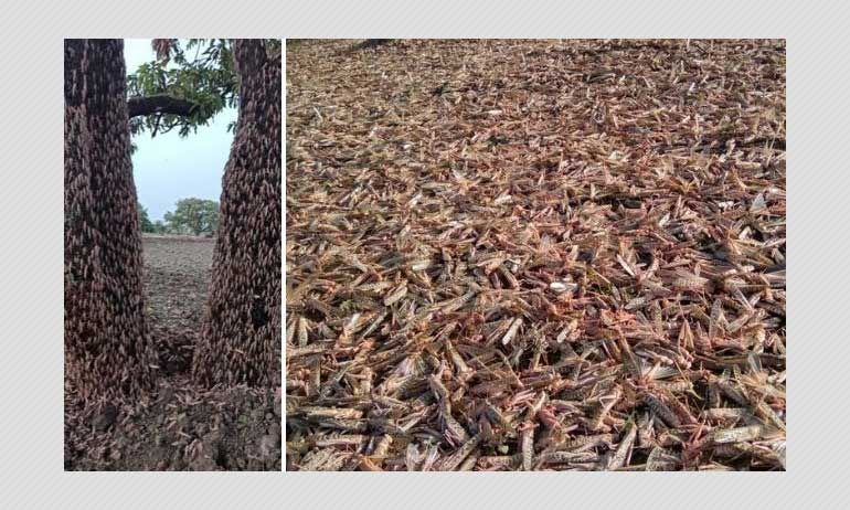 Desert Locust Swarms Attack Indian Farmlands: All You Need To Know