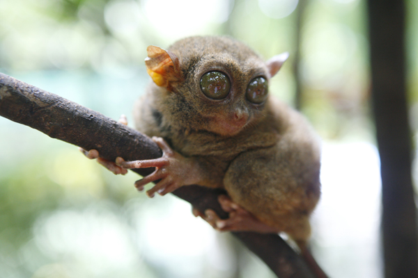 A Philippine Tarsier sits on branch of tree at Department of Environment and Natural Resources' conservation area along Loboc riverbanks in Bohol