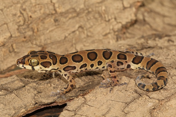 Forest Spotted Gecko are lizards found on tree branches near Royal palms in Aarey.