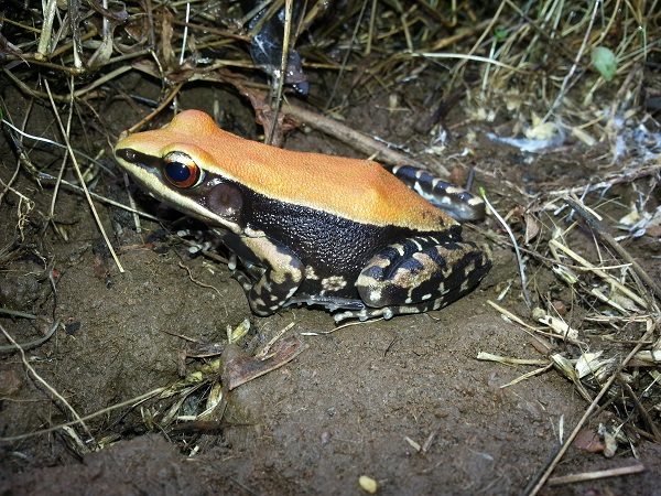 Fungoid frog, or Malabar Hills frog, is a colourful frog found on the forest floor of Aarey.