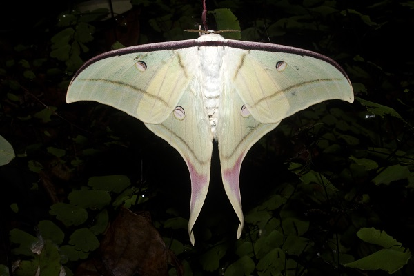 Moon Moth, a medium to large-sized moth, is found on broader leaves in Aarey's deep forests.