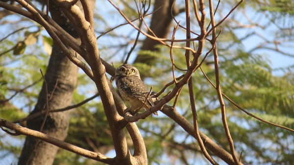 Spotted Owl is a nocturnal bird but is sometimes spotted during the day when disturbed by intruders.