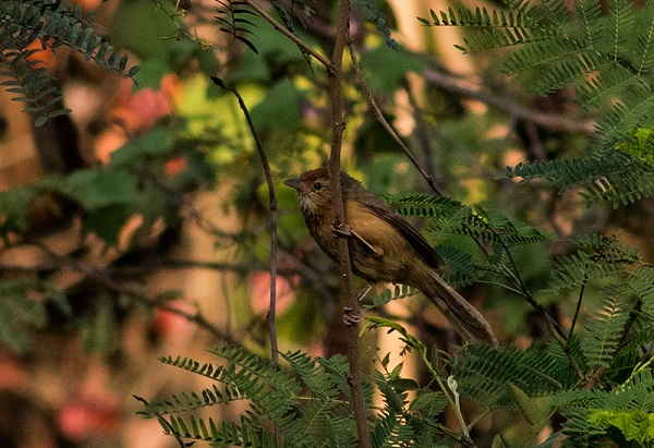 Tawny-Bellied Babbler is spotted commonly in the tall grasslands of Aarey. (Source: Shashank Birla)